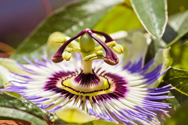 květina mučenka.jpg